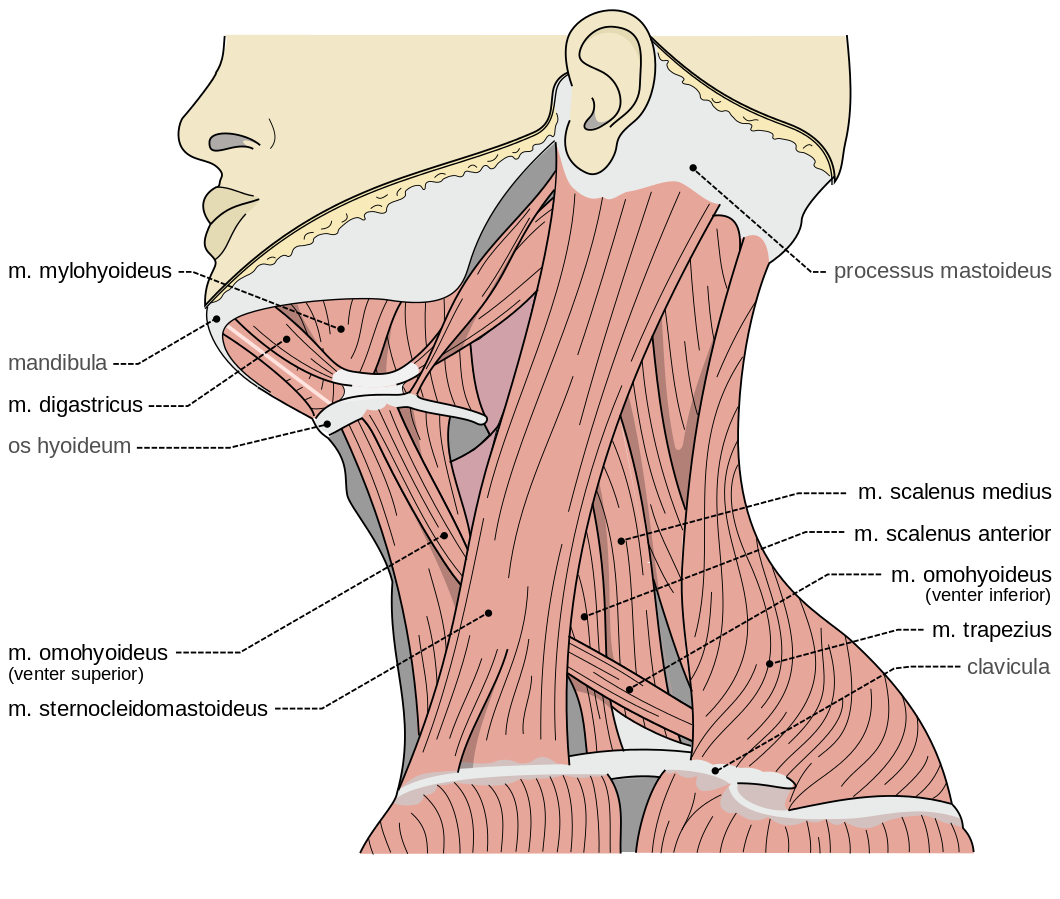 An anatomy drawing of the muscles of the neck.
