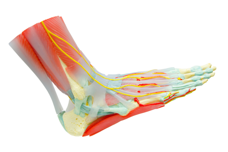 Lateral image of the soft tissues of the foot and ankle.