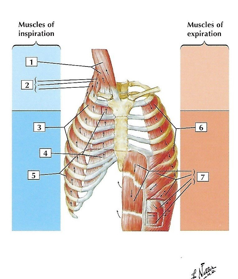 Image of the muscles of respiration.