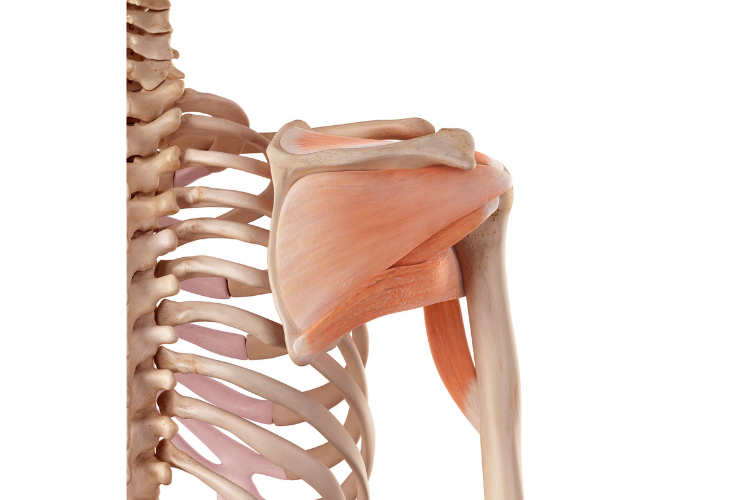 A skeleton with rotator cuff muscles.