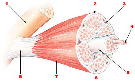 An Image showing a muscle and tendon attaching to bone.